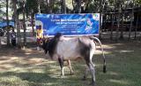 Pegawai BI Perwakilan Sumatera Utara menyalurkan kurban empat ekor sapi melalui BMH.