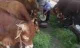 Pekerja memberi makan sapi siap potong yang kini stoknya ditambah di Rumah Potong Hewan (RPH) Malang, Jawa Timur, Rabu (22/5).