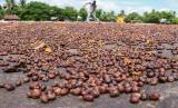 Kopi, dari Islam untuk Dunia (1). Foto: Kopi Arabika di Aceh (Ilustrasi)