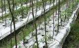 Penanaman hortikultura di lahan rawa di Kalimantan Selatan