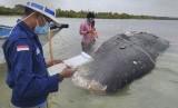 Peneliti mengumpulkan data dari bangkai paus yang terdampar