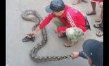 Penemuan ular sanca di permukiman (ilustrasi)