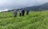 Pertanian bawang putih di Sembalun NTB