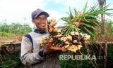 Petani jahe Mansur (40 tahun) memperlihatkan tanaman jahe hasil panen dari kebunnya di Desa Pasak Piang, Kecamatan Sungai Ambawang, Kabupaten Kubu Raya, Kalimantan Barat, Kamis (2/7/2020). Di atas lahan gambut seluas 2.500 m2 yang dibuka serta dibersihkannya tanpa dibakar tersebut Mansur menanam jahe dengan menggunakan teknik budidaya organik yang mengandalkan mikroba pengurai bernama F1 Embio, guna mengembalikan kesuburan untuk memperbaiki keseimbangan ekologi tanah.