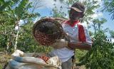 Petani kopi Sukardi menuang kopi ke karung di Desa Sukamaju, Tegal Rejo, Ulubelu, Tanggamus, Lampung, Rabu (30/7)