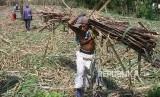 Petani memanen tebu untuk dikirim ke pabrik gula, di Ngawi, Jawa Timur, Senin (21/5).