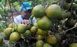 Balai Besar Pelatihan Pertanian (BBPP) Lembang, sebagai UPT Badan Penyuluhan dan Pengembangan SDM Pertanian, Kementerian Pertanian, melakukan pelatihan kepada para petani muda dalam pengembangan komoditas jeruk, mulai dari strategi dan kebijakan pascapanen hingga pengolahannya (Ilustrasi Petani Jeruk)