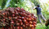 Petani memetik tandan buah segar (TBS) kelapa sawit. ilustrasi