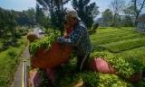 Petani teh (Ilustrasi)