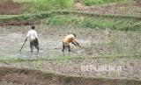 Petani mencangkul sawah sambil membenamkan jerami ke dalam lumpur di areal pesawahan daerah Cikalongwetan, Kabupaten Bandung Barat, Kamis (19/1).