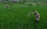 Petani menebar pupuk pada tanaman padi di persawahan Desa Bojonegoro, Kedu, Temanggung, Jawa Tengah, Senin (11/2/2019).