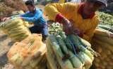 Petani mengemas jagung manis ke dalam karung usai dipanen di area pertanian Desa Paron, Kediri, Jawa Timur, Rabu (12/9).