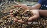 Petani menjemur kopi luwak