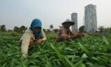 Petani sedang memanen kangkung.