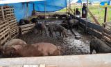 Pemprov Sumut tidak akan melakukan pemusnahan ternak babi untuk hentikan virus ASF. Ilustrasi.