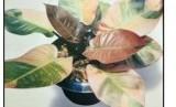 Philodendron tanaman hias daun.