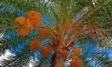 Pohon kurma menangis sedih pada masa Rasulullah dan para sahabat. Pohon kurma (ilustrasi)