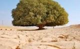 Ancaman Saat Nabi Muhammad Sendirian di Bawah Pohon. Foto: Pohon Sahabi yang dikabarkan menjadi saksi kerasulan Nabi Muhammad SAW (Ilustrasi).