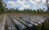 Produksi cabai di Lombok Timur.