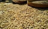 Proses pengeringan biji kopi Luwak di Bali Pulina
