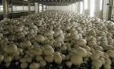 PT. Indo Evergreen mengekspor jamur kancing dan sayur buncis ke Singapura