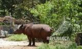 Seekor Badak jantan bernama Harapan Nampak buang air kecil di dalam Suaka Rhino Sumatera (SRS) Taman Nasional Way Kambas (TNWK), Lampung Timur, Senin (20/3).