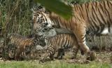 Sepasang Harimau Lahir di Taman Margasatwa Bukittinggi. Seekor Harimau Sumatera (Phantera Tigris Sumatrae)/ilustrasi.
