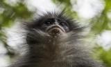 Seekor Surili Jawa (Presbytis comata) berada di dalam kandangnya di Kebun Binatang Bandung, Jawa Barat, Minggu (18/9).