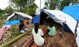 Sejumlah pengungsi korban gempa bumi memperbaiki tenda yang ditempatinya di lokasi pengungsian Desa Waai, Pulau Ambon, Kecamatan Salahutu, Kabupaten Maluku Tengah, Sabtu (5/10). Para pengungsi tersebut mengungsi ke hutan dan menempati tenda-tenda yang dibangun sendiri pascagempa yang mengguncang Pulau Ambon dan sekitarnya, Kamis (26/9).