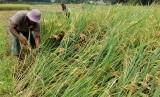 Seorang petani di Desa Jatipamor, Kecamatan Panyingkiran, Kabupaten Majalengka memilih untuk panen dini, Rabu (14/2). Hal itu untuk menghindari harga gabah yang makin merosot.