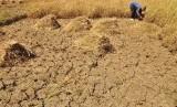 Seorang petani di Dusun Gendurit, Desa Kawengen, Kecamatan Ungaran Timur, Kabupaten Semarang, Jawa Tengah, memanen padi belum cukup umur di lahan perswahan yang merekah, akibat kekeringan.
