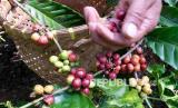 Seorang petani memanen kopi