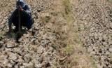 Seorang petani mencabut rumput di sawahnya yang kering akibat musim kemarau (ilustrasi).