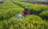Seorang petani menyiram tanaman padi menggunakan air dari sumur pantek di lahan pasir di kawasan Pantai Samas, Bantul, Yogyakarta.