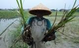 Seorang petani, Micing (65), menunjukan padi yang rusak diserang hama tikus. Anomali iklim juga berpengaruh pada pola serangan hama tanaman pangan.