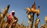 Seorang petani tengah memanen jagung miliknya (ilustrasi).