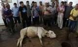 Seorang tukang sembelih hewan menunjukkan cara menyembelih hewan sapi yang akan dikurbankan saat pelatihan penyembelihan di Pekalongan, Jawa Tengah, Selasa (14/8).
