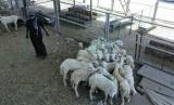 Suasana di pasar hewan An'am, Selasa (23/7). Pasar ini menggantikan pasar hewan di Kakiyah yang sudah ditutup sejak tahun ini.