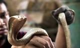 Ular kobra (ilustrasi)