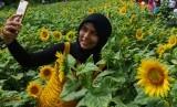 Warga berswafoto di bunga matahari. Selain bunga matahari, Holland Park Gorontalo juga berhiaskan marygold, celosia, dan zinnia.
