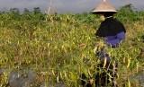 Warga memanen cabai rawit di persawahan desa Ketitang, Jumo, Temanggung, Jawa Tengah, Selasa (16/7/2019).