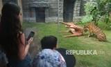 Wisatawan menyaksikan Harimau Sumatra (Panthera Tigris Sumatrae) bernama Pandeka mencari daging dalam boneka rusa saat dilatih kemampuan berburunya di Bali Zoo, Gianyar, Bali, Senin (29/7/2019).